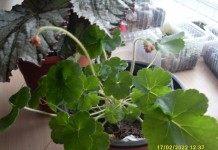 Конкурс: Выращивание гейхеры из семян