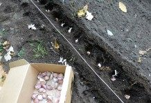 Как посадить чеснок весной?
