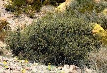 Жожоба — заменитель кашалотов
