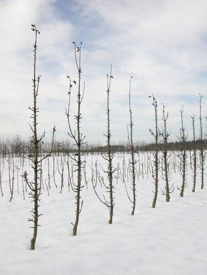 Уход за яблонями карлики мазунина