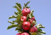 Яблонь стройные колонны