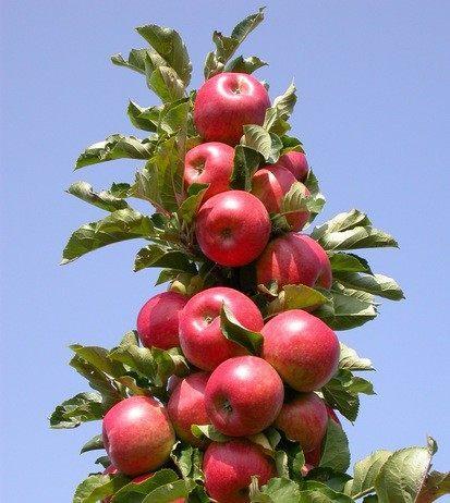 Колоновидная яблоня Рондо