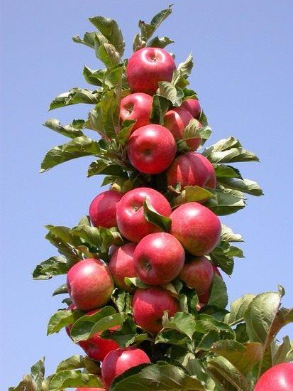 Колоновидная яблоня рондо column apple tree