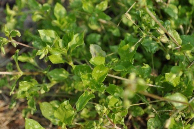 Мокрица, или Звездчатка средняя (Stellaria media)