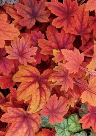 heuchera_Autumn_leaves