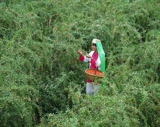 Сбор ягод Годжи, или Дерезы обыкновенной