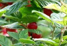 Уход за войлочной вишней и её выращивание