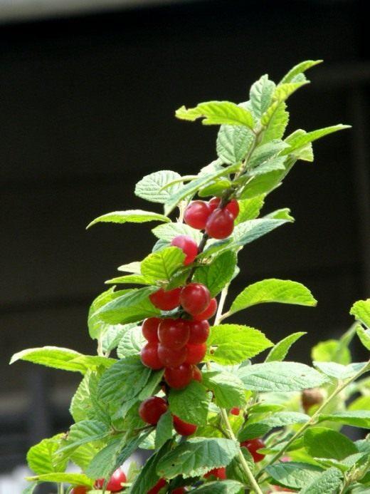 Вишня войлочная (Nanking cherry)