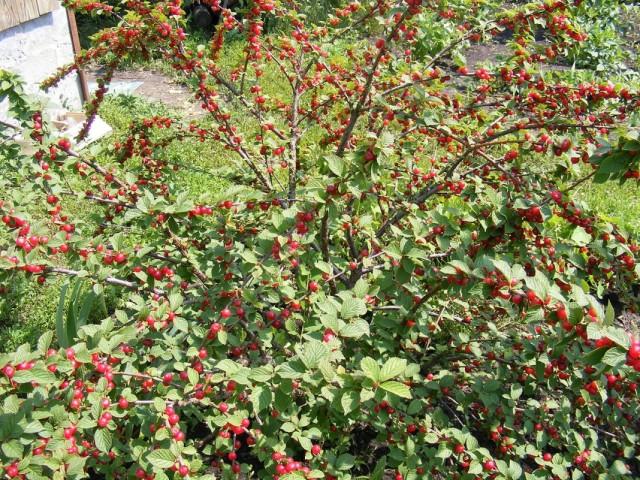 Куст вишни войлочной