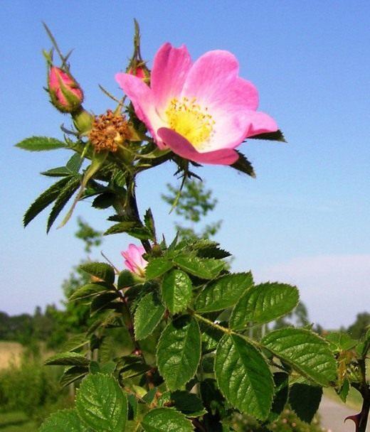 Шиповник красно-бурый (Rosa rubiginosa)