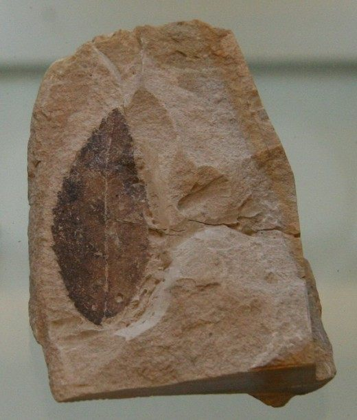 Окаменелый лист вымершего растения Rosa lignitum