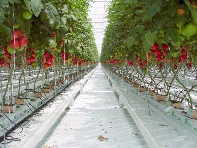Выращивание томатов с помощью гидропоники
