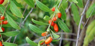 Годжи — целебная ягода