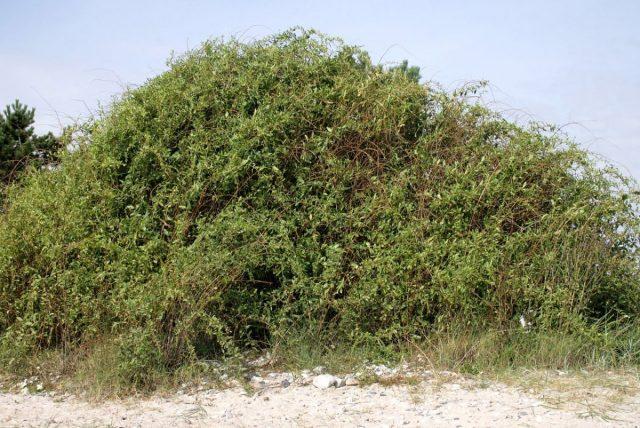 Общий вид растения Дереза обыкновенная, Годжи (Lycium barbarum)