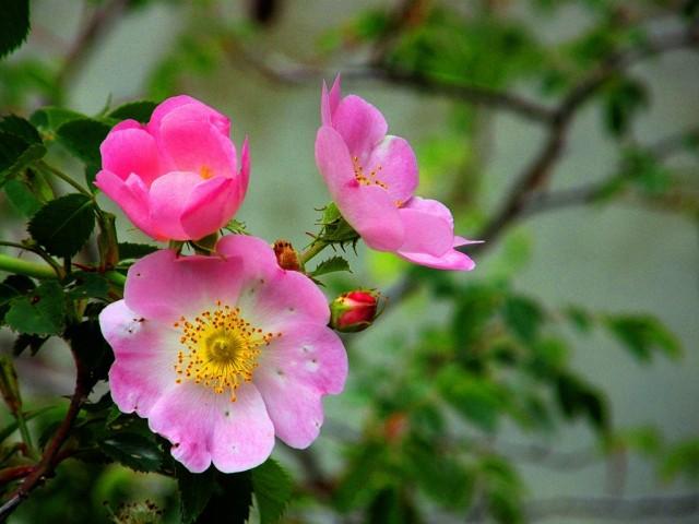 Шиповник собачий (Rosa canina)