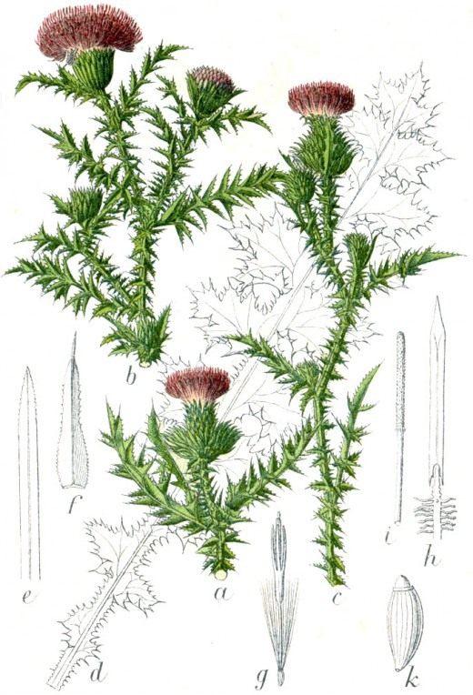 """Чертополох колючий. Иллюстрация из """"Флора Германии в картинках"""" (Carduus acanthoides. Illustration of """"Flora of Germany in Pictures"""""""