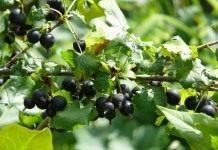Йошта – удивительный союз крыжовника и черной смородины