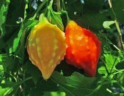 Момордика – ее выращивание и целебные свойства