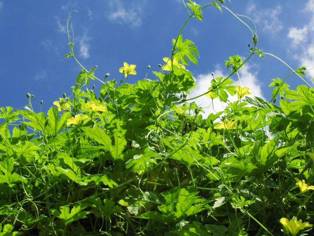 выращивание момордика фото