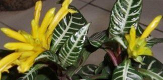 Афеландра оттопыренная (Aphelandra squarrosa)
