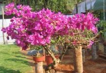 Бугенвиллия — шикарная бразильская красавица