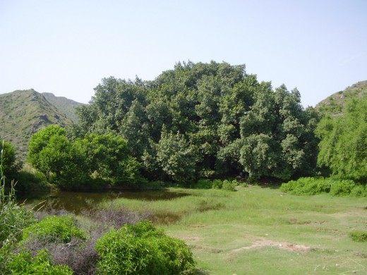 Вид на столетний Баньян, Форт Фарвала, Пакистан