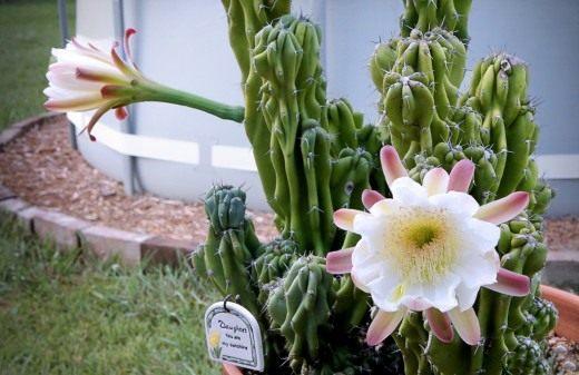 Цереус перуанский (Cereus peruvianus)