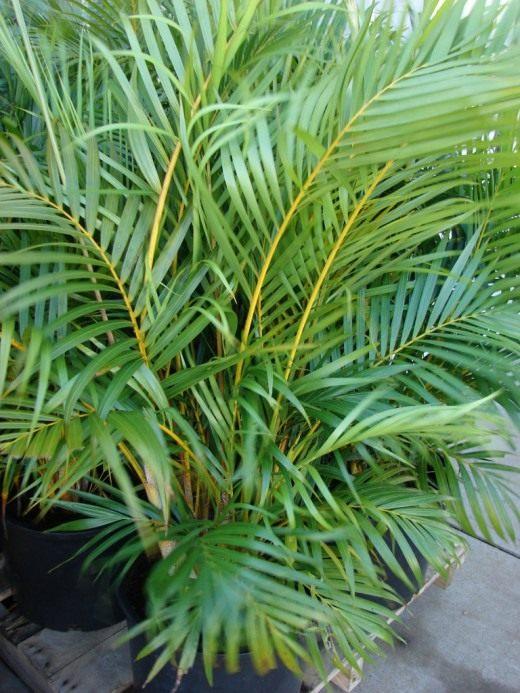 Хризалидокарпус желтоватый (Chrysalidocarpus lutescens) © Forest & Kim Starr