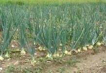 Как вырастить лук-репку из семян