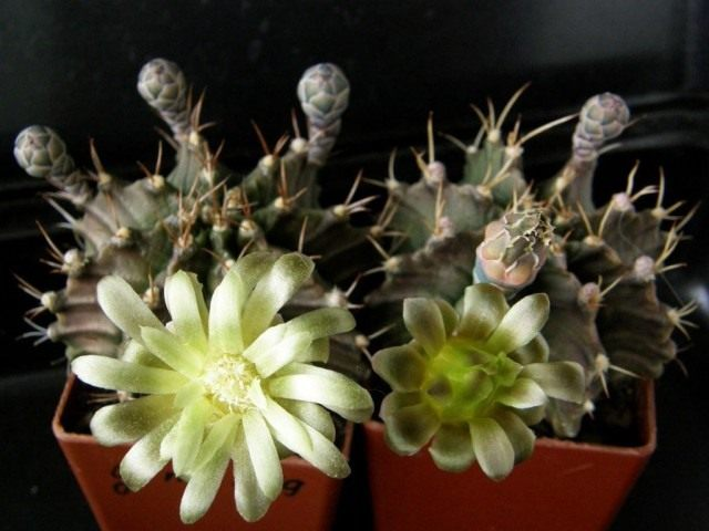 Гимнокалициум Михановича (Gymnocalycium mihanovichii)
