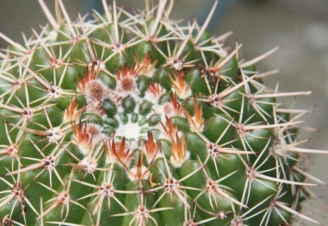 Пародия сосочковая, или Нотокактус сосочковый (Parodia mammulosa, syn. Notocactus mammulosus)