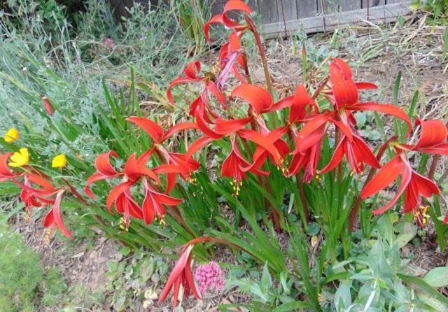 Спрекелия в саду