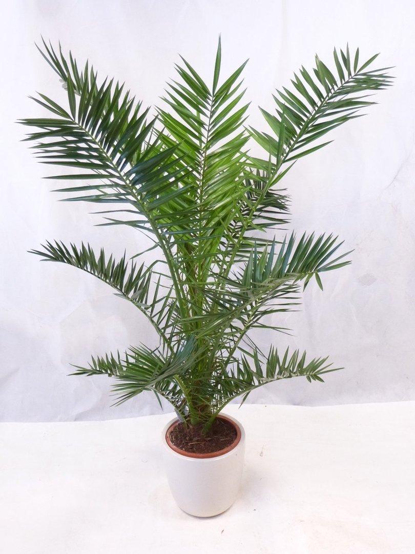 Комна�ная �иниковая пал�ма У�од и в��а�ивание Фо�о