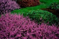 Вереск – универсальное растение для создания ландшафтных композиций