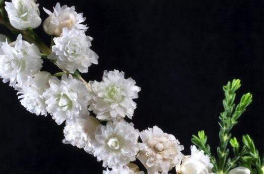 Цветы вереска сорт Kinlochruel.