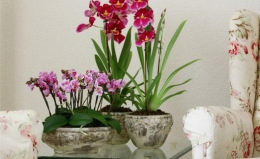 размножение орхидеи дендробиум благородный уход в домашних условиях