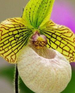 Орхидея «пафиопедилум»