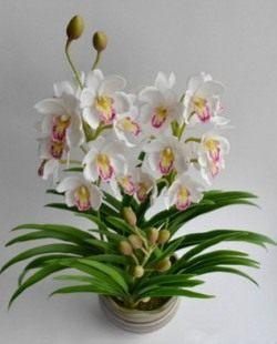 Орхидея «цимбидиум»