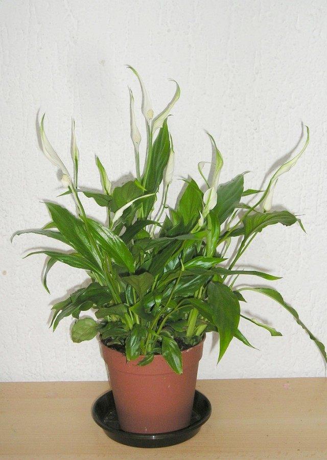 Спатифиллум, или Спатифиллюм (Spathiphyllum)