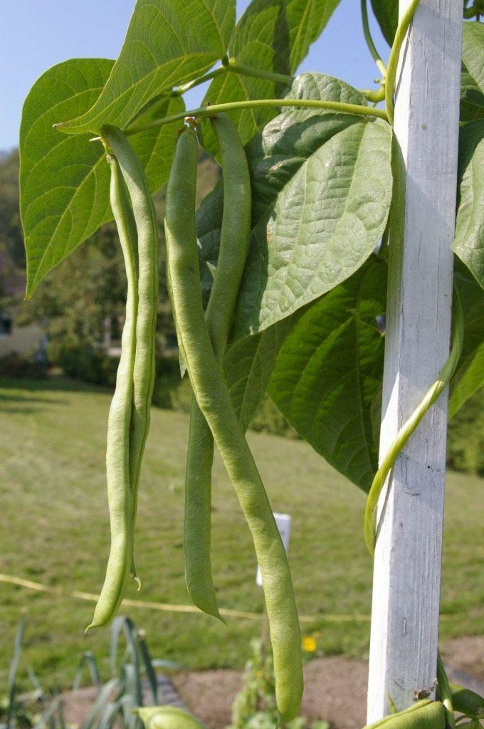 Как вырастить стручковую фасоль?
