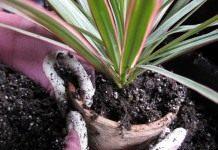 Пересадка взрослых комнатных растений