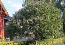 Сумах оленерогий, или Уксусное дерево