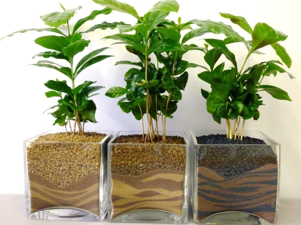 Дерево кофе арабика в домашних условиях 284