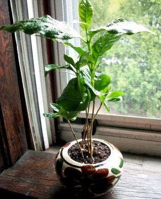кофейное дерево любит полутень