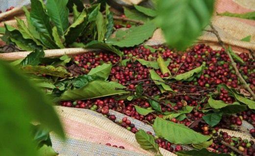 кофейный плод