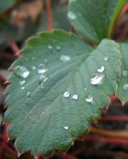 Верхний полив грозит ожогами листьев