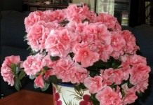 Азалия — королева цветочного царства