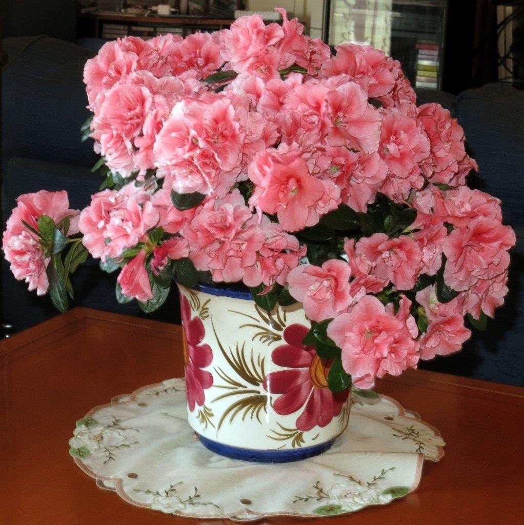 Азалия – королева цветочного царства