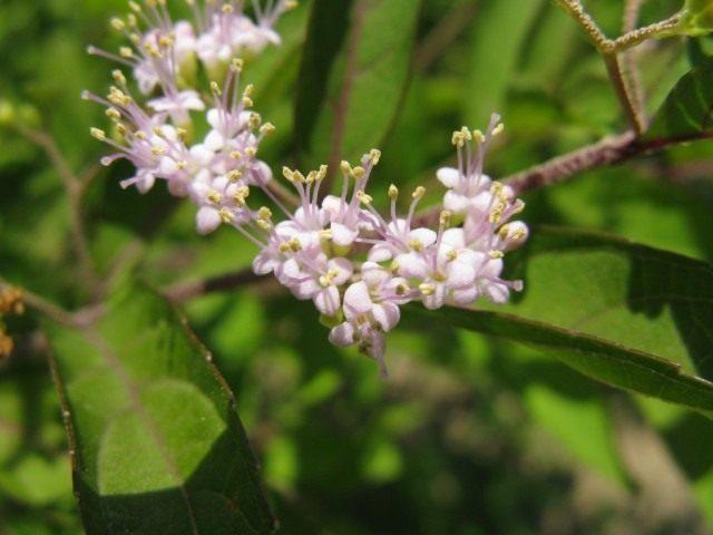 Соцветия красивоплодника вильчатого