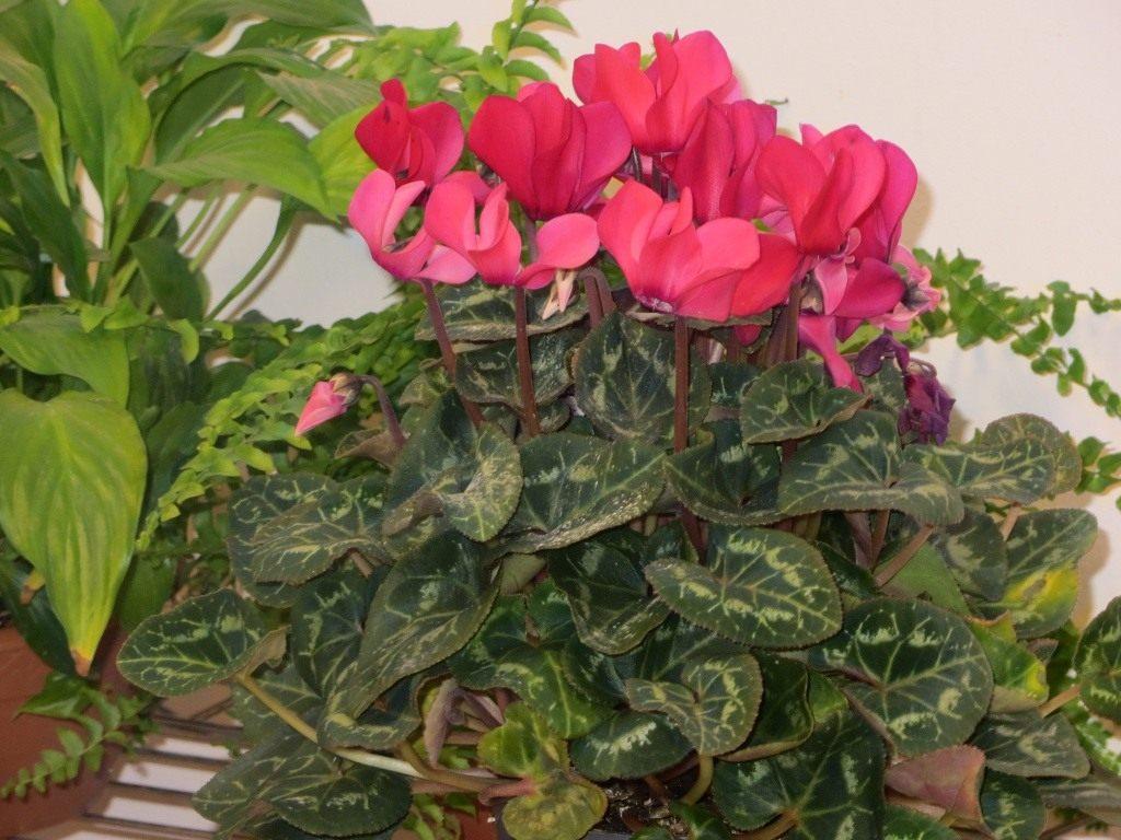 Цикламен — Cyclamen: фото, условия выращивания, уход и размножение